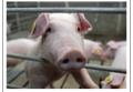 Построение и реконструкция свиноферм в Украине, изготовление и продажа оборудования для свиней по индивидуальному чертежу, станки для опороси, щелевые полы, кормушки и кормороздатчики для свиней с Днепропетровска