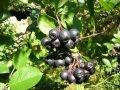 Саженцы черноплодной Аронии 1,5-год (50-70см) голый корень