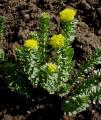 Розсада і насіння родіоли рожевої і тирличу жовтого (Рассада и семена родиолы розовой, горечавки желтой), и других.