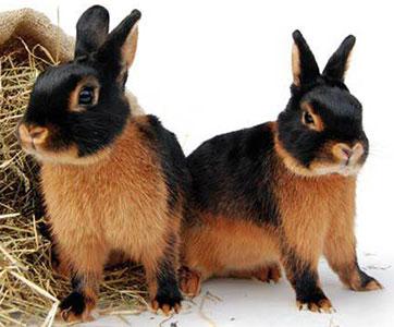 Запорожский кролик, ООО НВП