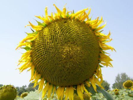 Семена ВНИС (Всеукраинский Научный Институт Селекции)
