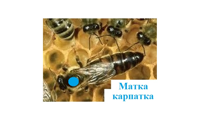 Зеник, СПД, Мукачево