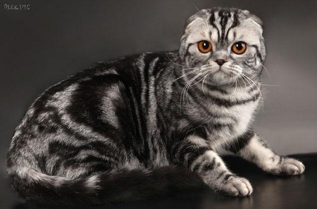 Полосатые коты шотландские вислоухие