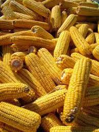 Заказать Сушка и хранение кукурудзы