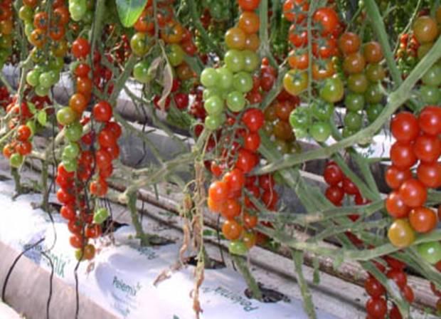 Подбор оборудования под технологию выращивания овощей