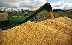 Заказать Заготовка, сушка, хранение, калибровка гибридной кукурузы