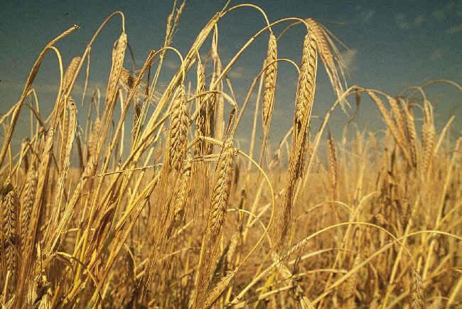 Закупка ячменя, пшеницы, зерна, зерновых культур