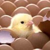 Заказать Принимаем яйца водоплавающих на инкубацию