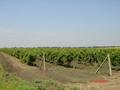 Заказать Выращивание винограда