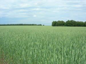 Заказать Выращивание зерновых
