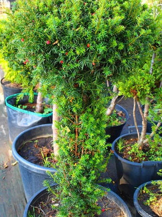 Φύτευση δέντρων, δενδρυλλίων και