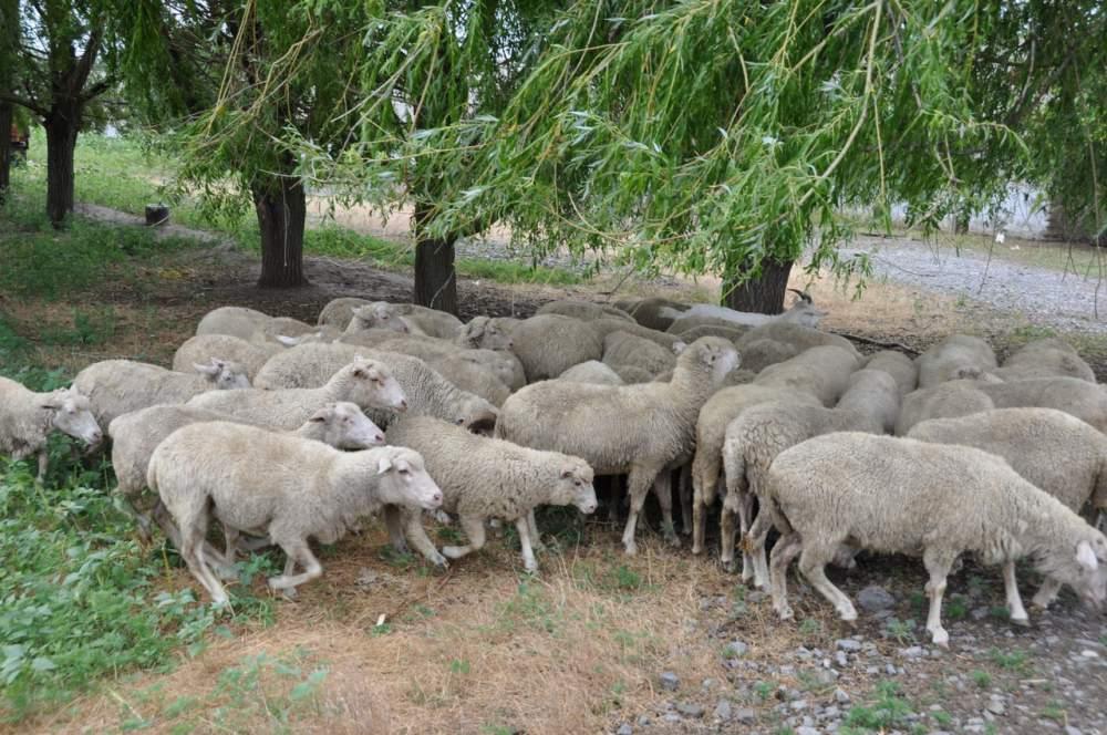 Заказать Племенное животноводство в Донецкой области, продажа племенных овец, продажа баранов мясной породы