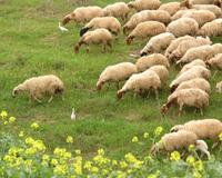Заказать Продажа племенных овец в Донецкой области, продажа баранов в Донецкой области