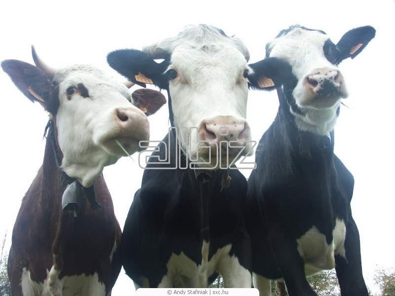 Заказать Выращивание коров