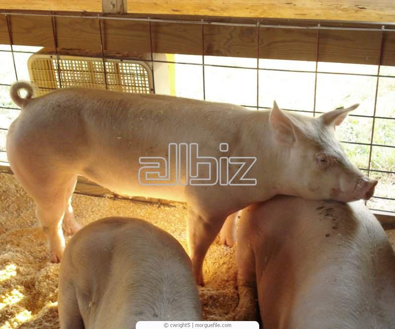 Заказать Продаем свиней живым весом