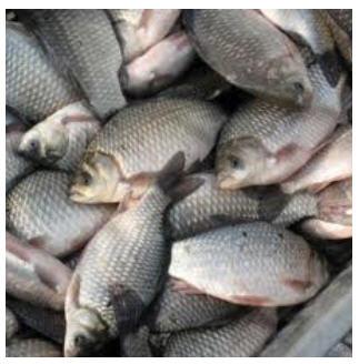 Заказать Выращивание и реализация товарной рыбы в Украине