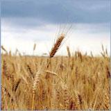 Заказать Переработка зерна гречихи и пшеницы в Украине