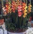 Заказать Выращиваем и реализуем посадочный материал гладиолусов.