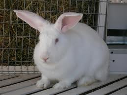 Заказать Молодняк кроликов, сукрольные крольчихи