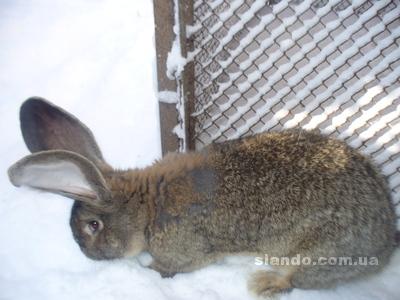 Заказать Молодняк кроликов, сукрольные крольчихи Белый великан, Французкий Баран, Фландр, Калифорнийский
