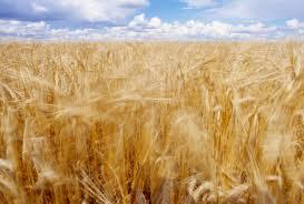 Заказать Продаем и выращиваем зерновые, бобовые и масленичные культуры