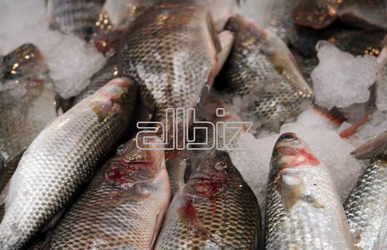 Заказать Выращивание и реализация рыбы семейства осетровых, Осетр ленский, бестер в живом и свежем виде