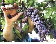 Заказать Выращивание разных сортов винограда