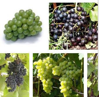 Заказать Выращивание новых сортов винограда