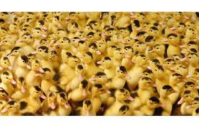 Заказать Услуги инкубатора Универсал-50. Инкубация яиц всех видов птицы.