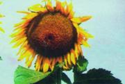 Заказать Подсолнечник сорт Донской крупноплодный, семеноводческое хозяйство