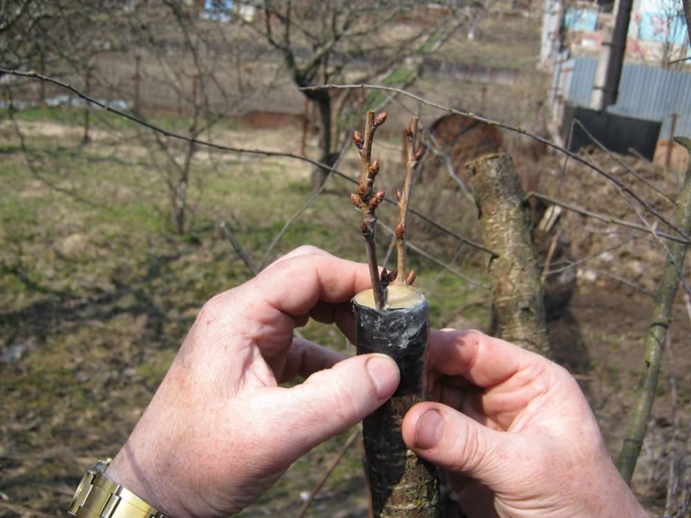 как и когда прививать деревья
