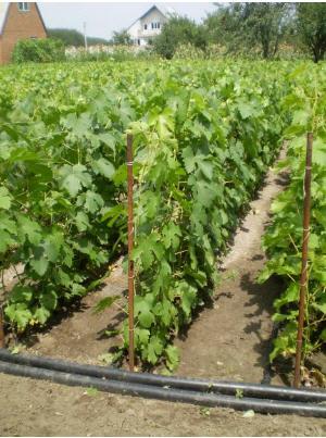Заказать Выращивание посадочного материала столовых и кишмишных сортов винограда