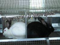 Разведение и реализация кроликов, Бровары