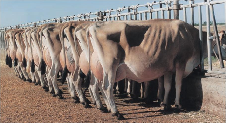 Заказать Проведение оценки молочного стада по типу (МЭП)