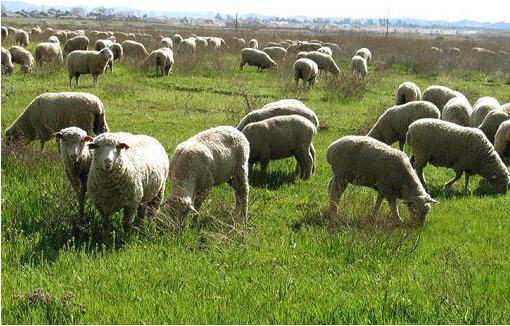 Заказать Разведение овец