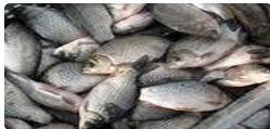 Заказать Рыболовство в реках, озерах, водохранилищах, прудах - КАРАСИ