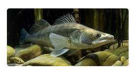 Заказать Рыболовство в реках, озерах, водохранилищах, прудах - СУДАК