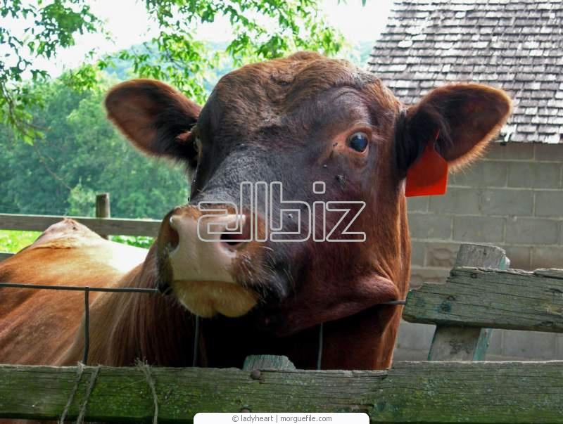 Заказать Оперативная перевозка крупного рогатого скота