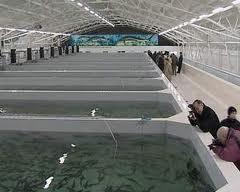 Заказать Рыбопосадочный материал Украина, Экспорт. (Карп, Толстолоб, Белый Амур, Карась)