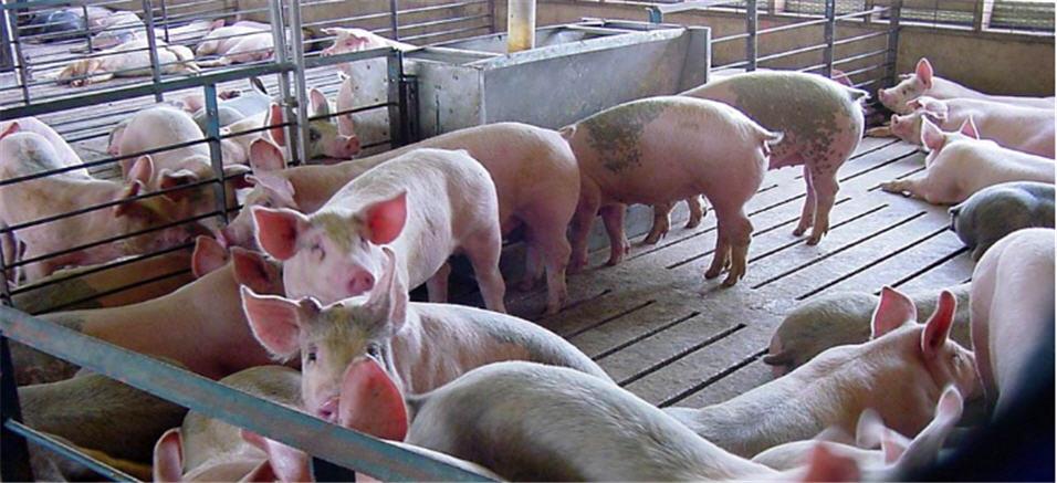 Заказать Перевозка свиней, скота своими скотовозами по Украине