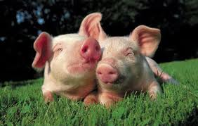 Order Transportation of pigs, delivery of pigs, live weight across Ukraine, abroad: Europe, Asia