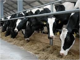 Заказать Перевозка авиа, скотовозами крупного рогатого скота за рубеж Россия, Европа, Азия