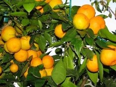 Order Fast customs clearance of a citrus Yevpatoria