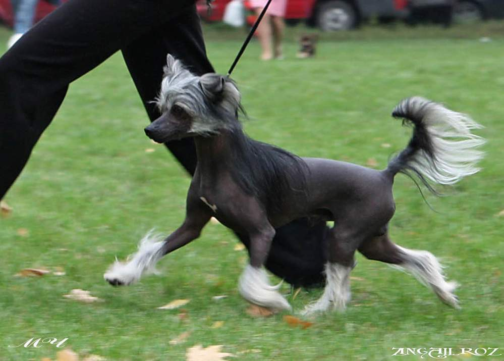Заказать Кобель Китайской Хохлатой Собаки