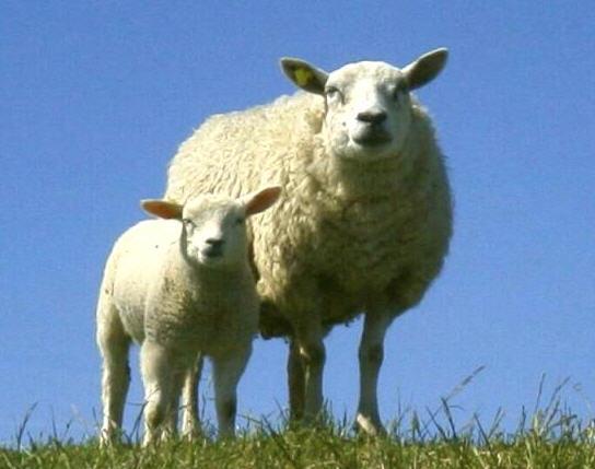 Заказать Международные перевозки скота, баранов, свиней в страны Европы, Азии