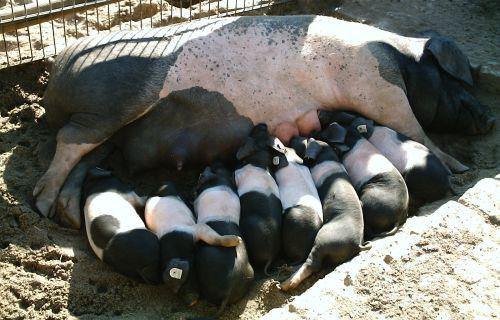 Заказать Свиньи для разведения стада