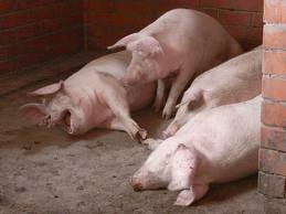 Заказать Разведение свиней