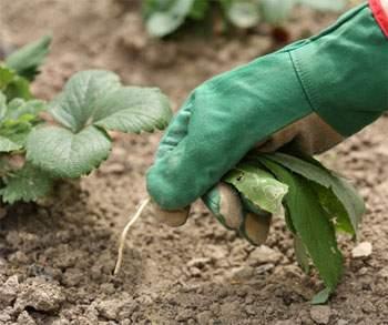 Заказать Табачная пыль для борьбы с сорной растительностью
