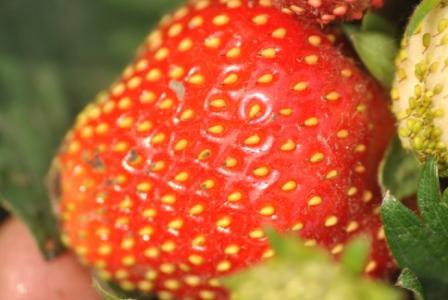 Заказать Выращивание рассады клубники, малины, смородины под заказ