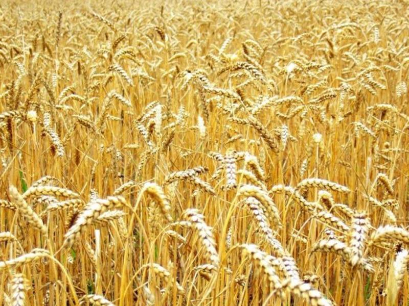Заказать Выращивание зерновых культур